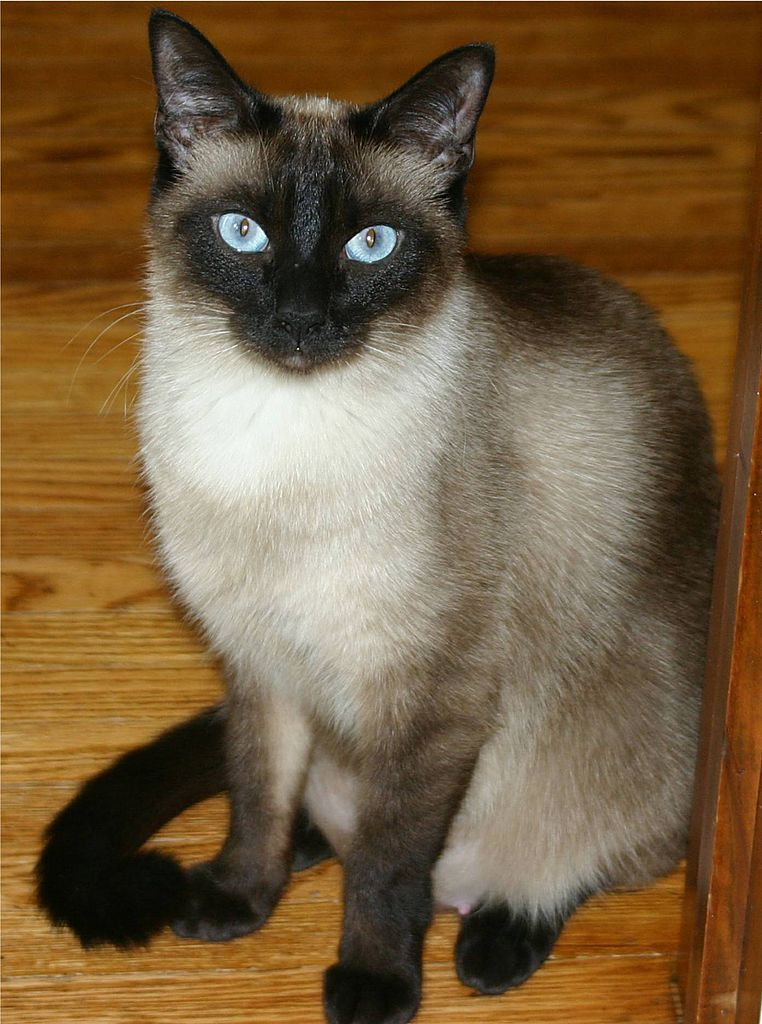 The classic Siamese cat
