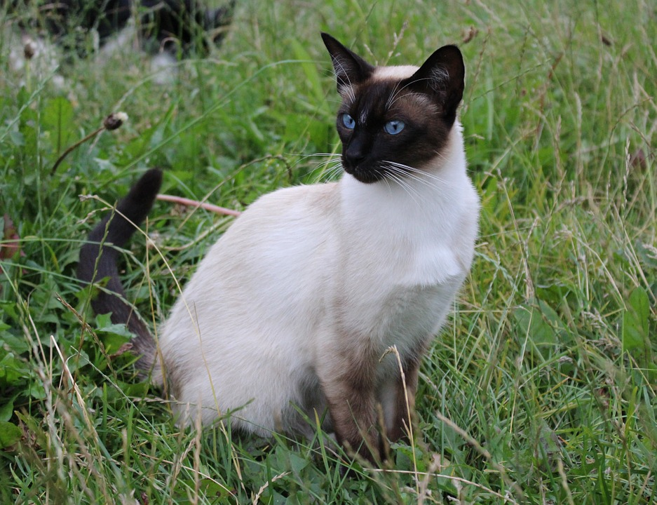 The Siamese cat in grass