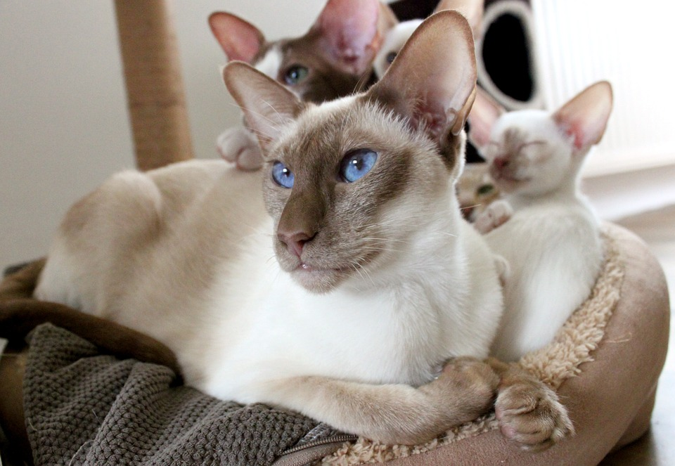 The Siamese cats