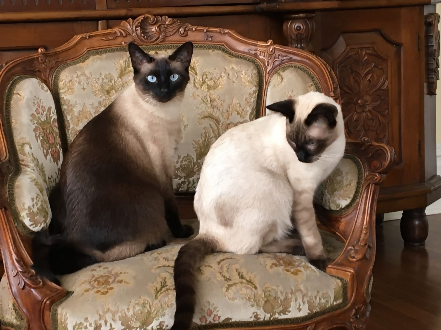 Siamese-Friendly Home Décor