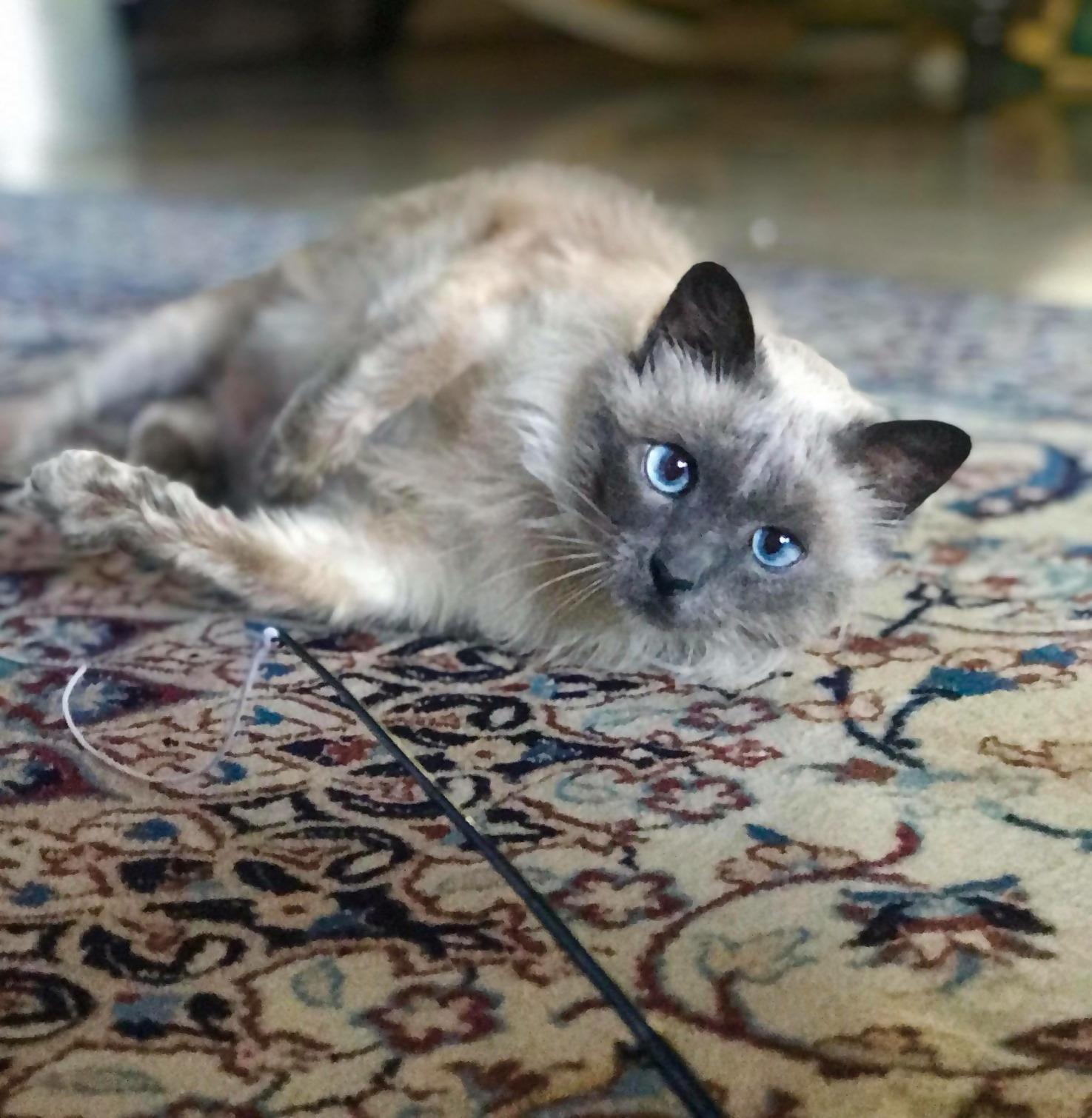 Siamese-Proof Carpet